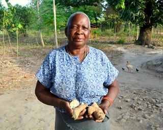 Rukia Salim, a cassava farmer in Mtepeni in Kenyans Coast region show cassava infested by CMDCBD-Rukia lost her harvest by half to pests and diseases. By Verenardo Meeme