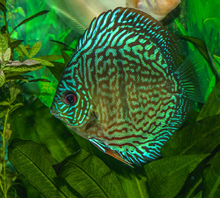 Turquoise discus | by Bojan Žavcer
