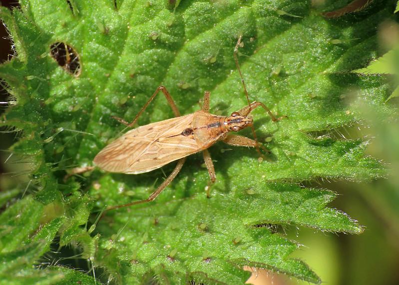 Field Damsel Bug - Nabis ferus