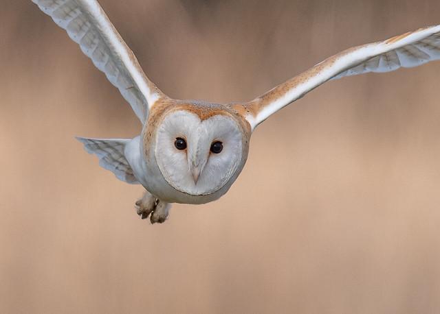 Cropped shot of a Barn Owl, Norfolk UK