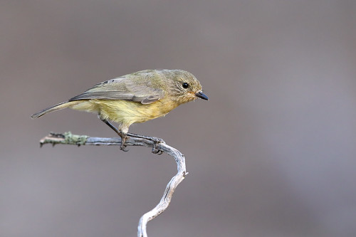 Yellow Thornbill (Acanthiza nana)