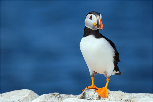 A Puffin a Day
