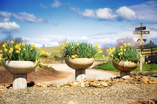 Daffies at the Amador Flower Farm. | by Sierra Springs Photography