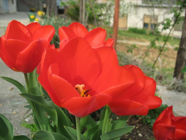 Ljepota tulipana
