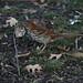 Brown Thrasher with stick3 by Dan Getman Bird Photos