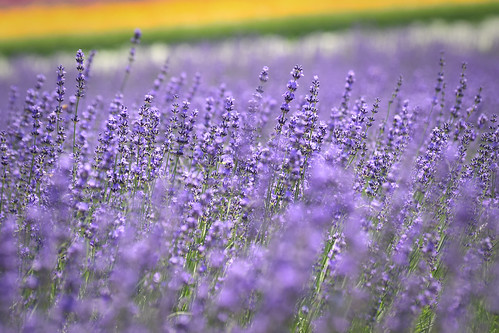 Furano's lavender | by 雷太