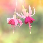 Dancing fairies