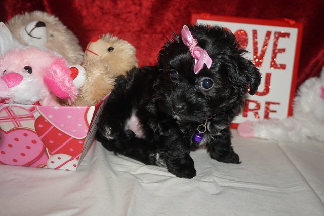 1 Itsy 2.2lbs 8wks old (28)