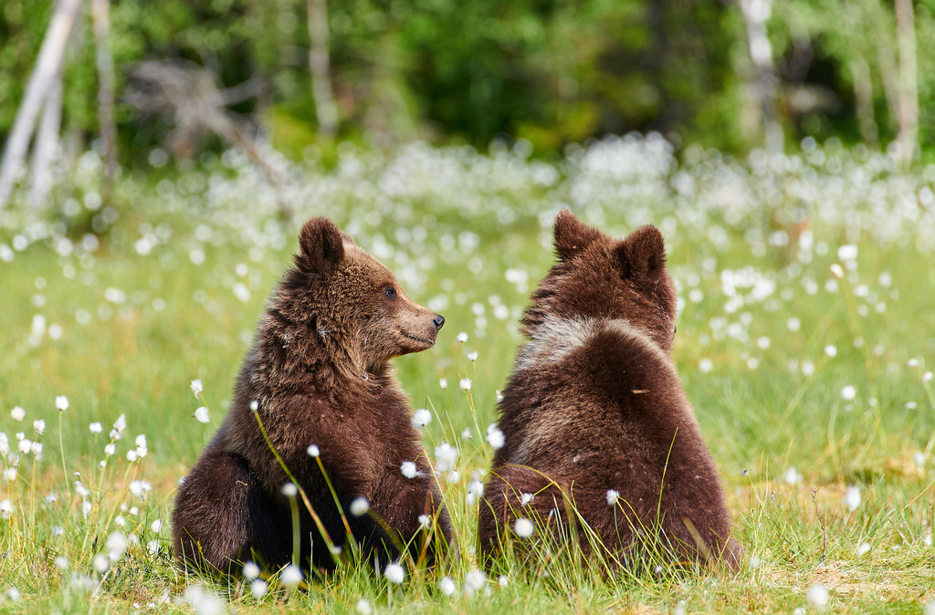 Bear   Two young brown bear in the middle of cottongrass flo…   Flickr
