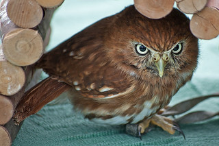 Pygmy Owl, Sussex Falconry Centre, Birling Gap - 9 Aug 2009 | by Cliff Jones Photography