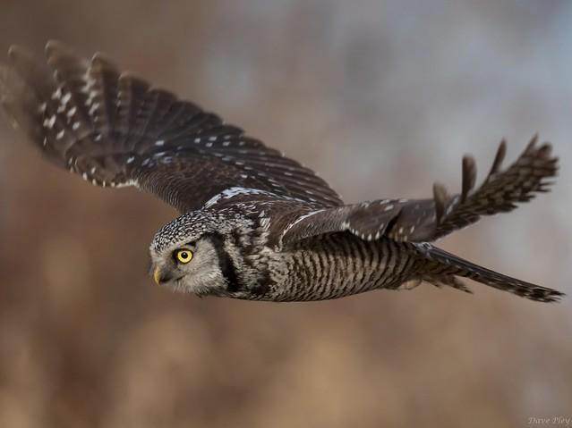 Northern Hawk Owl- in flight