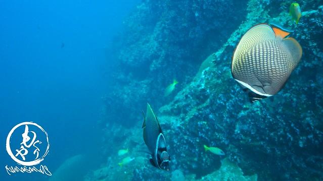 インド洋固有種!コラーレバタフライフィッシュ