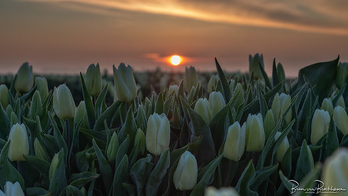 Tulips dew and morning light