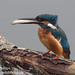 kingfisher with a fish by Neil Phillips