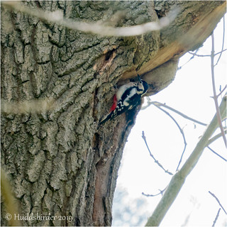 Great Spotted Woodpecker ♀ | by Huddsbirder