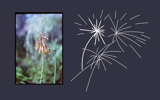 fireworks....kniphofia tomsonii