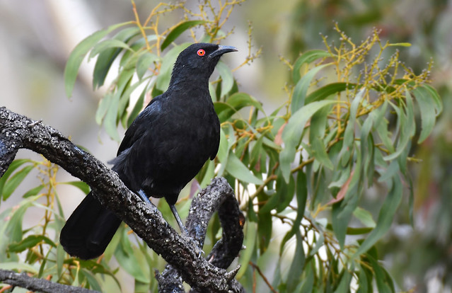 White-winged Chough from Charleston CP a - Copy