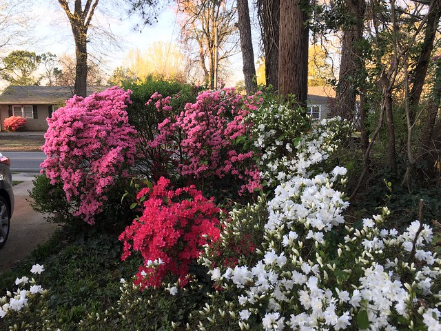 The azaleas 🌺 blooming next to our driveway