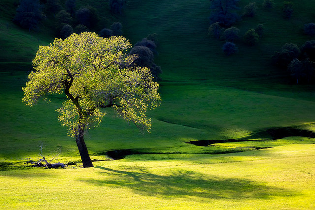 Colusa County Tree