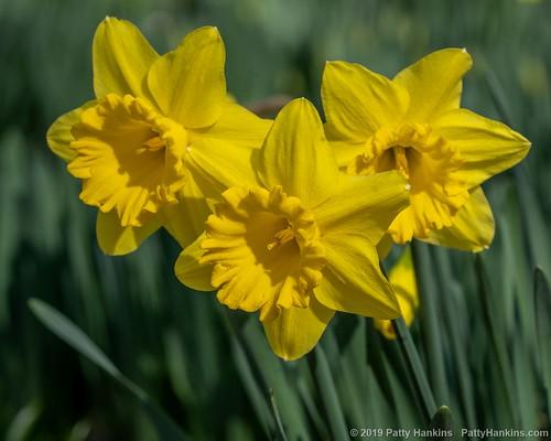 2019_03_lgbg_daffodil_gigantic_star_3344HDR