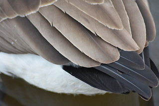 Canada goose Feather | by stevencarruthers93