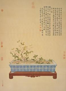 Mimosa pudica bonsai