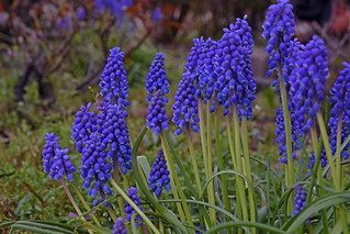 Muscari botryoides | by Huib Smit