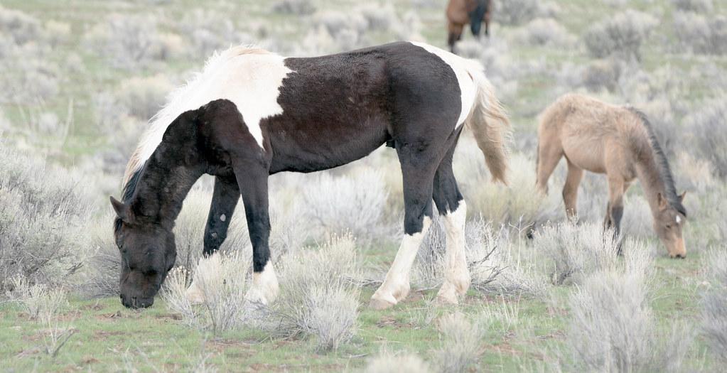Steens stallion 1 (1 of 1)