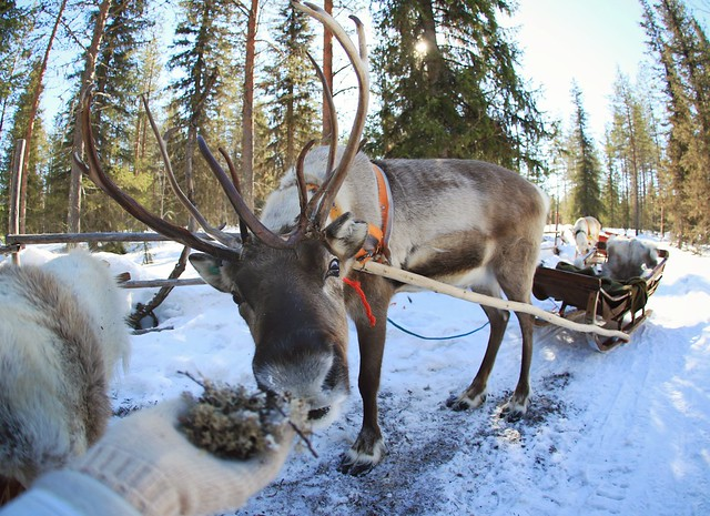 alimentando a un reno