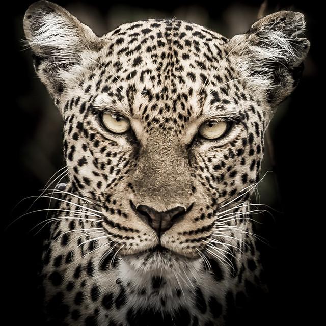 léopard trait 1-5981