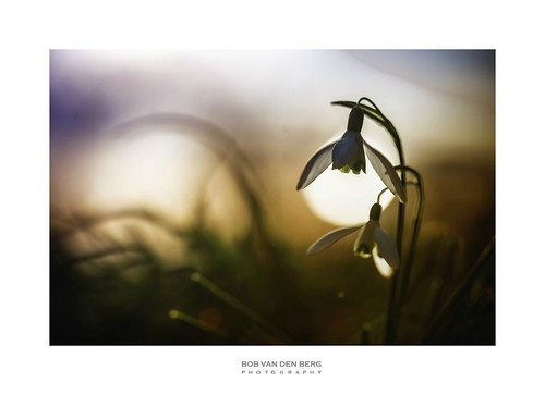 flower spring sunset light lightbowl glowing centre spoton spotlight wild nature springtime early warm color detail silhouette low grass soft transparency petals holland