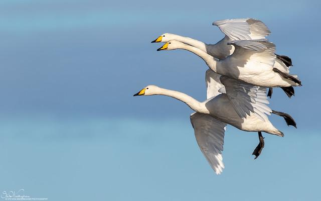 Settling Whooper Swans