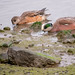 American Wigeon pair by DaveSticker