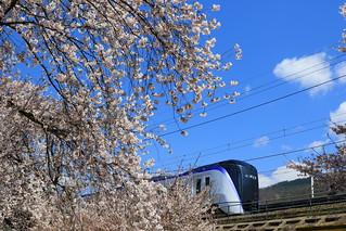 E353系と桜