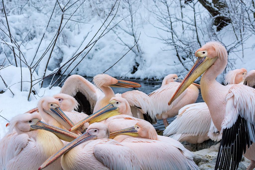 Pelikane im Winter