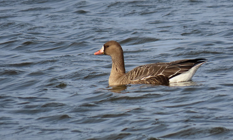 White-fronted Goose - Anser albifrons