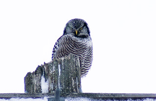 Hawk owl (1 of 1) | by debra249