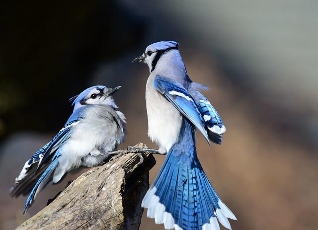 DSC_0421.jpg=Blue Jay Stand Off