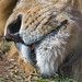 Lion mouth, very close by Tambako the Jaguar