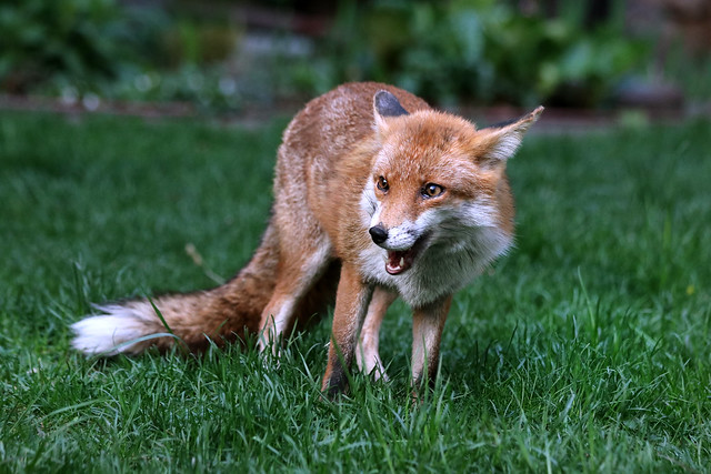 daylight-garden-fox :)
