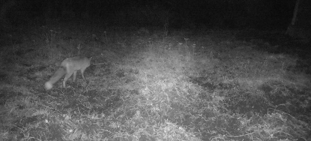 Rebane rajakaameras / Fox