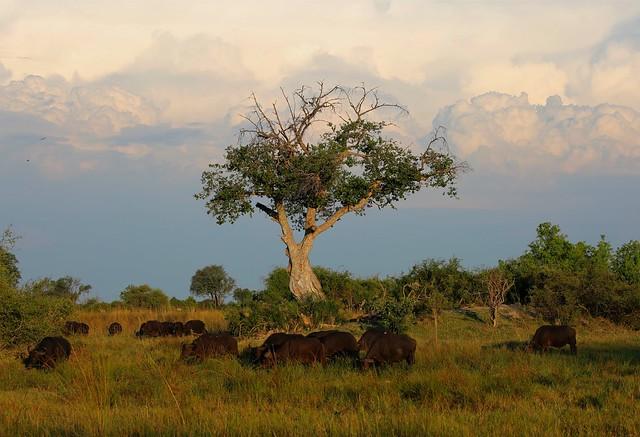 Field of wild African buffalo