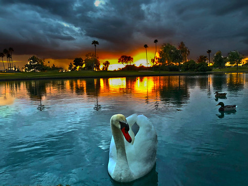 bird animal swan suncitywest arizona winter reflection stardustgolfclub sky clouds rain ominous refelction color colors colorful sunset ruleofthirds