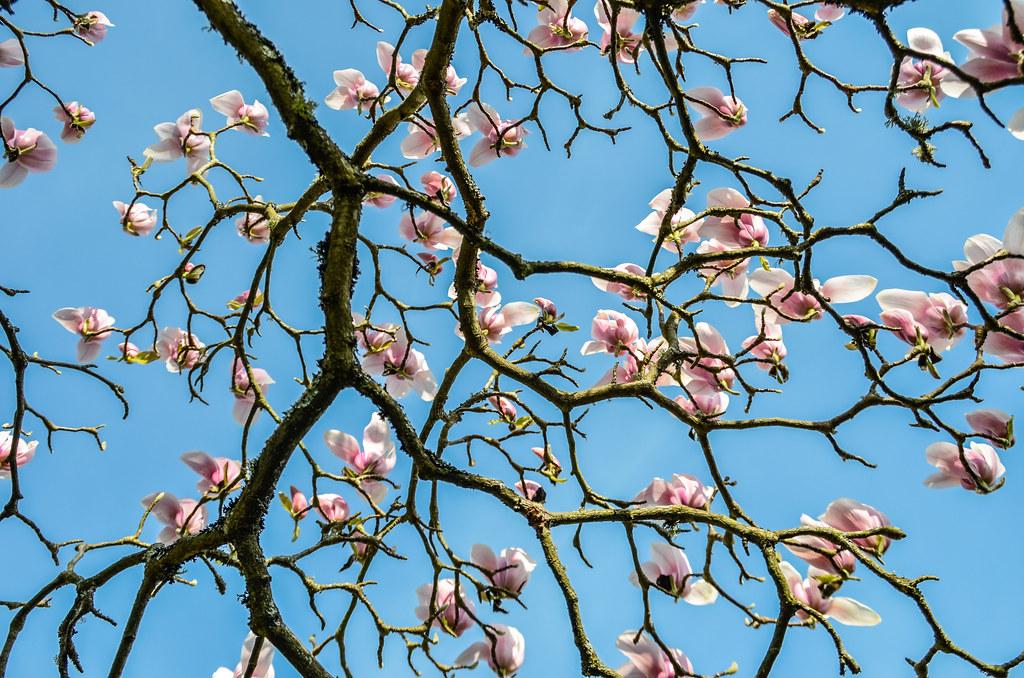 Steel Magnolias Magnolia Make Fantastic Ornamental Garden Flickr