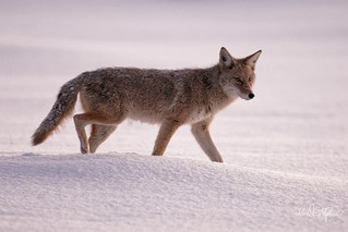 Western Coyote In Snow | by dcstep