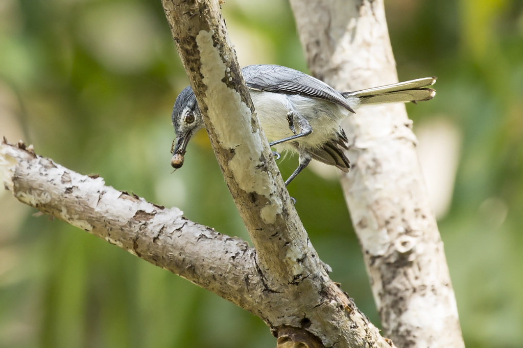 Tropical Gnatcatcher (Polioptila plumbea) 6 032019