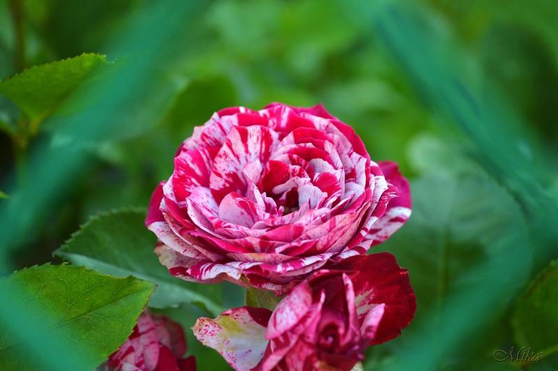 Обои Розы, Flowers, Roses картинки на рабочий стол, раздел цветы - скачать