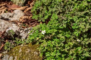 沢の向こうにニリンソウ咲き始める