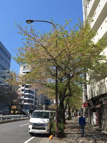 桜 明治通り 恵比寿 広尾 2019/4/13