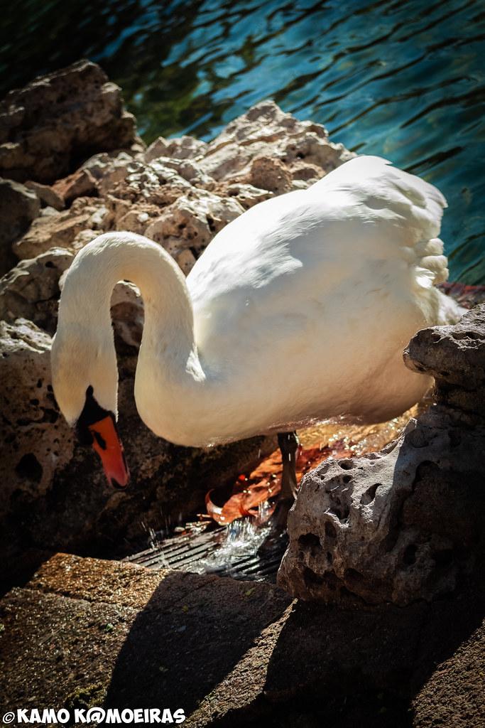 cisne de la alamedilla